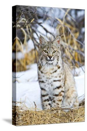 USA, Wyoming, Portrait of Bobcat Sitting-Elizabeth Boehm-Stretched Canvas Print