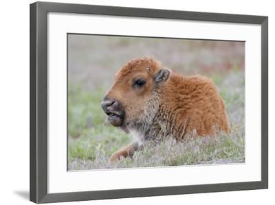 USA, Wyoming, Yellowstone National Park, Bison Calf Resting and Chewing Grasses-Elizabeth Boehm-Framed Photographic Print