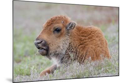 USA, Wyoming, Yellowstone National Park, Bison Calf Resting and Chewing Grasses-Elizabeth Boehm-Mounted Photographic Print