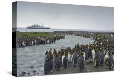 South Georgia. Saint Andrews. Crowd of King Penguins Line a Stream-Inger Hogstrom-Stretched Canvas Print
