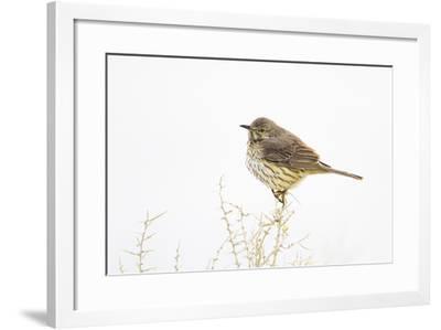 Wyoming, Lincoln County, Sage Thrasher Roosting on Bush-Elizabeth Boehm-Framed Photographic Print