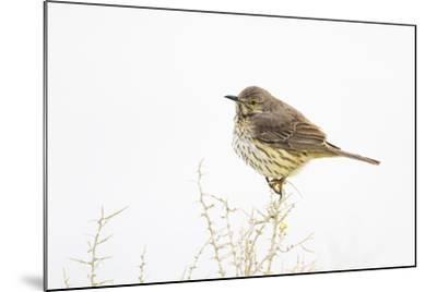 Wyoming, Lincoln County, Sage Thrasher Roosting on Bush-Elizabeth Boehm-Mounted Photographic Print