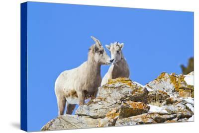 Wyoming, National Elk Refuge, Bighorn Sheep and Lamb Nuzzling-Elizabeth Boehm-Stretched Canvas Print
