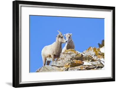 Wyoming, National Elk Refuge, Bighorn Sheep and Lamb Nuzzling-Elizabeth Boehm-Framed Photographic Print