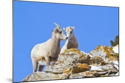 Wyoming, National Elk Refuge, Bighorn Sheep and Lamb Nuzzling-Elizabeth Boehm-Mounted Photographic Print