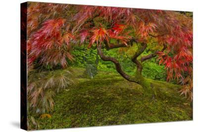 Japanese Maple Tree in Autumn, Japanese Gardens, Portland, Oregon-Chuck Haney-Stretched Canvas Print