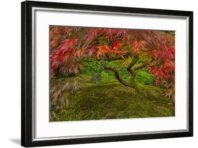 Japanese Maple Tree in Autumn, Japanese Gardens, Portland, Oregon-Chuck Haney-Framed Photographic Print
