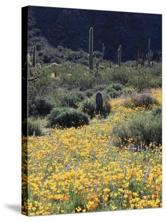 Organ Pipe Cactus Nm, California Poppy and Saguaro in the Ajo Mts-Christopher Talbot Frank-Stretched Canvas Print