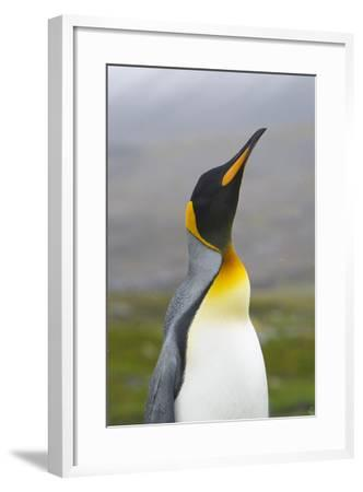 South Georgia. Saint Andrews. King Penguin, Aptenodytes Patagonicus-Inger Hogstrom-Framed Photographic Print