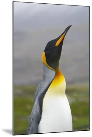 South Georgia. Saint Andrews. King Penguin, Aptenodytes Patagonicus-Inger Hogstrom-Mounted Photographic Print