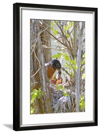Wyoming, Sublette County, American Robin Feeding Nestlings Worms-Elizabeth Boehm-Framed Photographic Print