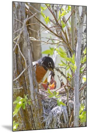 Wyoming, Sublette County, American Robin Feeding Nestlings Worms-Elizabeth Boehm-Mounted Photographic Print