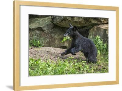 Minnesota, Sandstone, Black Bear Cub with Leaf in Mouth-Rona Schwarz-Framed Photographic Print