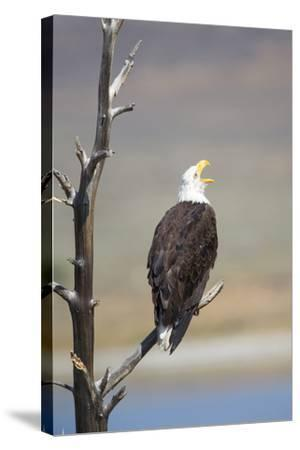 Wyoming, Sublette County, Bald Eagle Calling from Snag-Elizabeth Boehm-Stretched Canvas Print