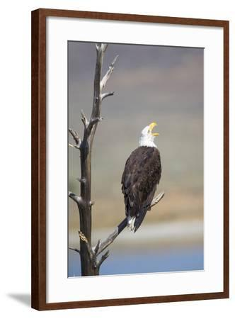Wyoming, Sublette County, Bald Eagle Calling from Snag-Elizabeth Boehm-Framed Photographic Print