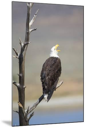 Wyoming, Sublette County, Bald Eagle Calling from Snag-Elizabeth Boehm-Mounted Photographic Print