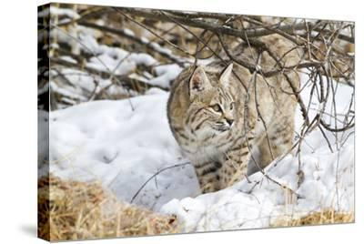 Wyoming, Sublette County, Bobcat in Winter-Elizabeth Boehm-Stretched Canvas Print