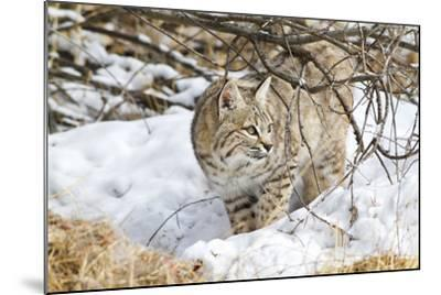 Wyoming, Sublette County, Bobcat in Winter-Elizabeth Boehm-Mounted Photographic Print