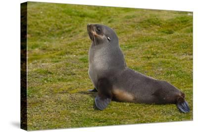 South Georgia. Salisbury Plain. Antarctic Fur Seal-Inger Hogstrom-Stretched Canvas Print