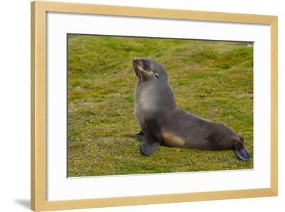South Georgia. Salisbury Plain. Antarctic Fur Seal-Inger Hogstrom-Framed Photographic Print