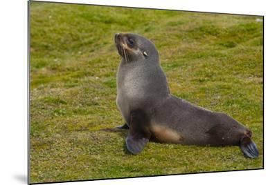South Georgia. Salisbury Plain. Antarctic Fur Seal-Inger Hogstrom-Mounted Photographic Print