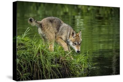 Minnesota, Sandstone, Minnesota Wildlife Connection. Grey Wolf Pup-Rona Schwarz-Stretched Canvas Print