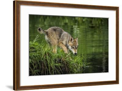 Minnesota, Sandstone, Minnesota Wildlife Connection. Grey Wolf Pup-Rona Schwarz-Framed Photographic Print