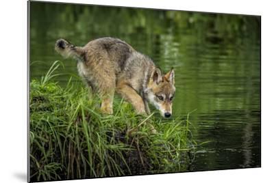 Minnesota, Sandstone, Minnesota Wildlife Connection. Grey Wolf Pup-Rona Schwarz-Mounted Photographic Print