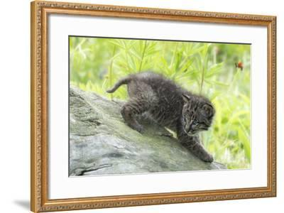 Minnesota, Sandstone, Bobcat Kitten on Top of Log in Spring Grasses-Rona Schwarz-Framed Photographic Print