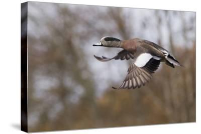 American Widgeon Duck-Ken Archer-Stretched Canvas Print