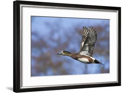 American Widgeon Duck-Ken Archer-Framed Photographic Print