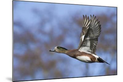 American Widgeon Duck-Ken Archer-Mounted Photographic Print