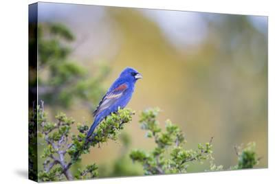 Kinney County, Texas. Black Capped Viroe Foraging in Juniper-Larry Ditto-Stretched Canvas Print