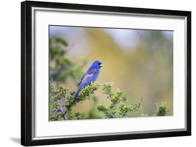 Kinney County, Texas. Black Capped Viroe Foraging in Juniper-Larry Ditto-Framed Photographic Print