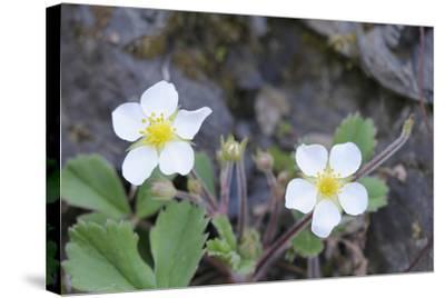 Canada, B.C, Vancouver Island. Coastal Strawberry, Fragaria Chiloensis-Kevin Oke-Stretched Canvas Print