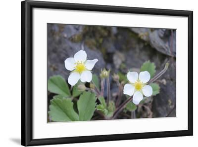 Canada, B.C, Vancouver Island. Coastal Strawberry, Fragaria Chiloensis-Kevin Oke-Framed Photographic Print