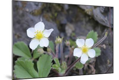 Canada, B.C, Vancouver Island. Coastal Strawberry, Fragaria Chiloensis-Kevin Oke-Mounted Photographic Print