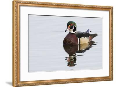 Wood Duck-Ken Archer-Framed Photographic Print