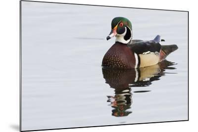Wood Duck-Ken Archer-Mounted Photographic Print