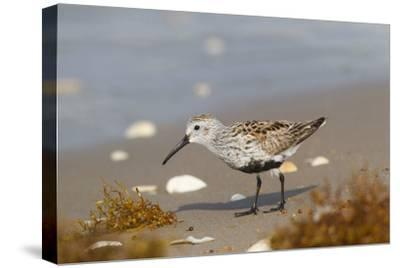 Cameron County, Texas. Dunlin Feeding on Beach During Spring Migration-Larry Ditto-Stretched Canvas Print