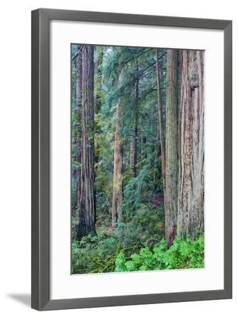 Redwood Trees in Morning Fog-Terry Eggers-Framed Photographic Print