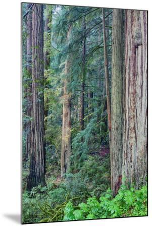 Redwood Trees in Morning Fog-Terry Eggers-Mounted Photographic Print