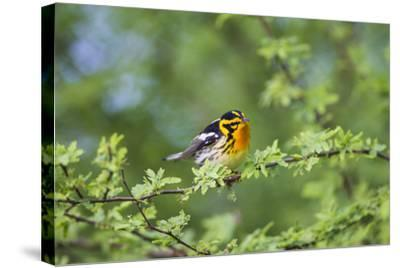 South Padre Island, Texas. Blackburnian Warbler Feeding-Larry Ditto-Stretched Canvas Print