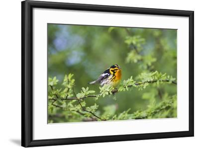 South Padre Island, Texas. Blackburnian Warbler Feeding-Larry Ditto-Framed Photographic Print