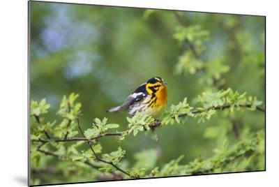 South Padre Island, Texas. Blackburnian Warbler Feeding-Larry Ditto-Mounted Photographic Print