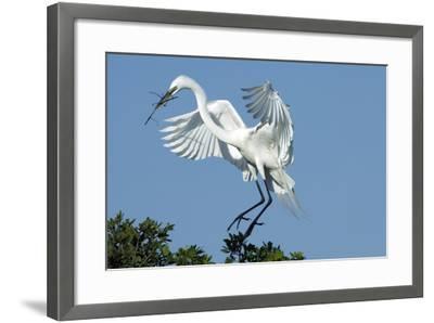 Florida, Venice, Audubon Sanctuary, Common Egret with Nesting Material-Bernard Friel-Framed Photographic Print