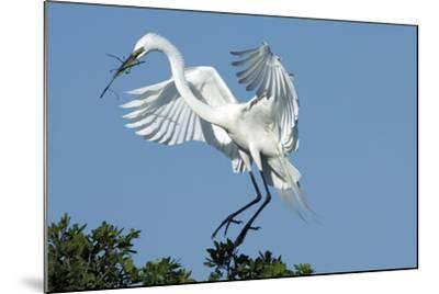 Florida, Venice, Audubon Sanctuary, Common Egret with Nesting Material-Bernard Friel-Mounted Photographic Print