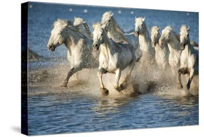 White Horses of Camargue, France, Running in Blue Mediterranean Water-Sheila Haddad-Stretched Canvas Print