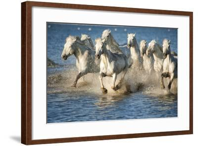 White Horses of Camargue, France, Running in Blue Mediterranean Water-Sheila Haddad-Framed Photographic Print