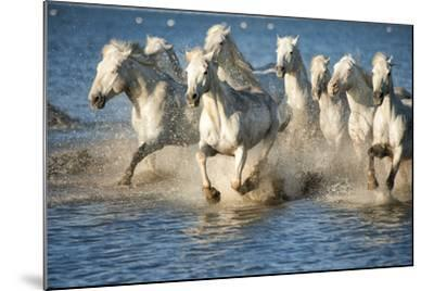 White Horses of Camargue, France, Running in Blue Mediterranean Water-Sheila Haddad-Mounted Photographic Print